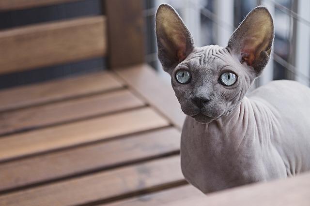 Sphynx cat quiz